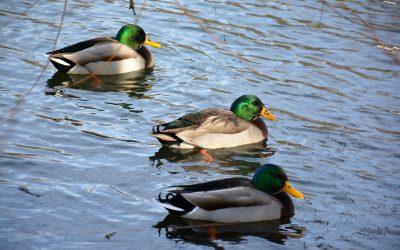 A Duck Story by Len Kuntz